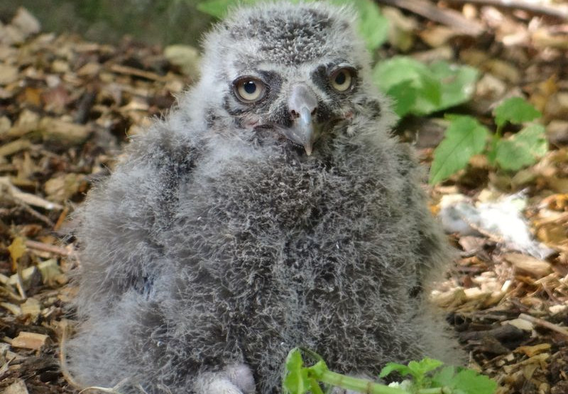 Snowy owlet at Drusillas Park (July 2014)