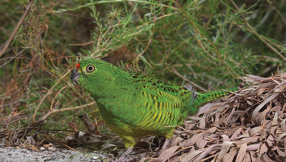 Western ground parrot, a critically endangered species that relies on a captive breeding and reintroduction programme by Perth Zoo to boost its numbers in the wild. Photo credit: Perth Zoo.