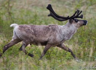 The Return of the Forest Reindeer
