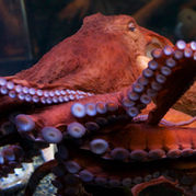 aquarium of the bay_octopus.jpg