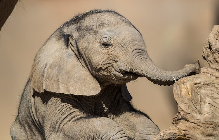 African elephant at San Diego Zoo (August 2018)