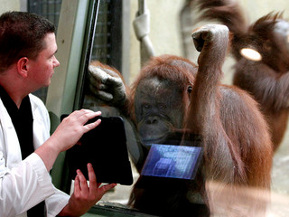 Let's get digital. The modern solution to captive ape enrichment?