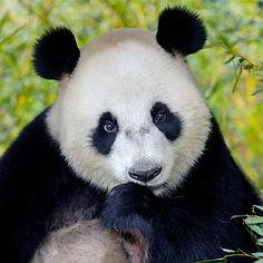 panda ouwehands.jpg