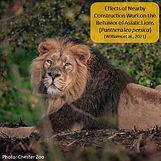 Effects of construction on lion work_Zoo