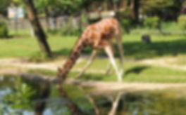 Giraffe zoo CZS.jpg