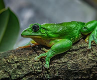 Chester Zoo_Mexican leaf frog.jpg