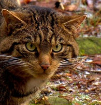 Scottish wildcat reintroduction_RZSS.jpg
