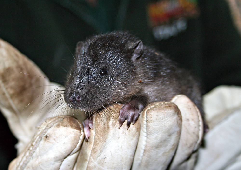 "Rakali or water rat (Hydromys chrysogaster), one of the species Perth Zoo has bred to release in local areas of suitable habitat, as part of their ""Urban Renewal Project"". Photo credit: Perth Zoo."