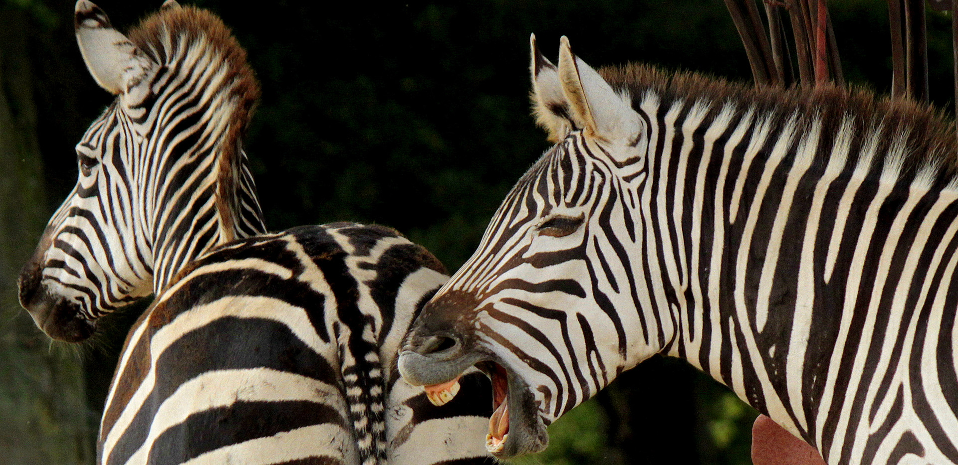 Plains zebra at Knowsley Safari (August 2017)