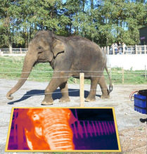 ELEPHANT THERMAL IMAGES FOR CONSERVATION