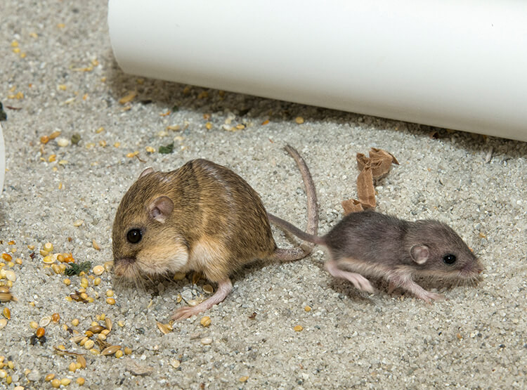 Pacific Pocket Mice at San Diego Zoo (2016)