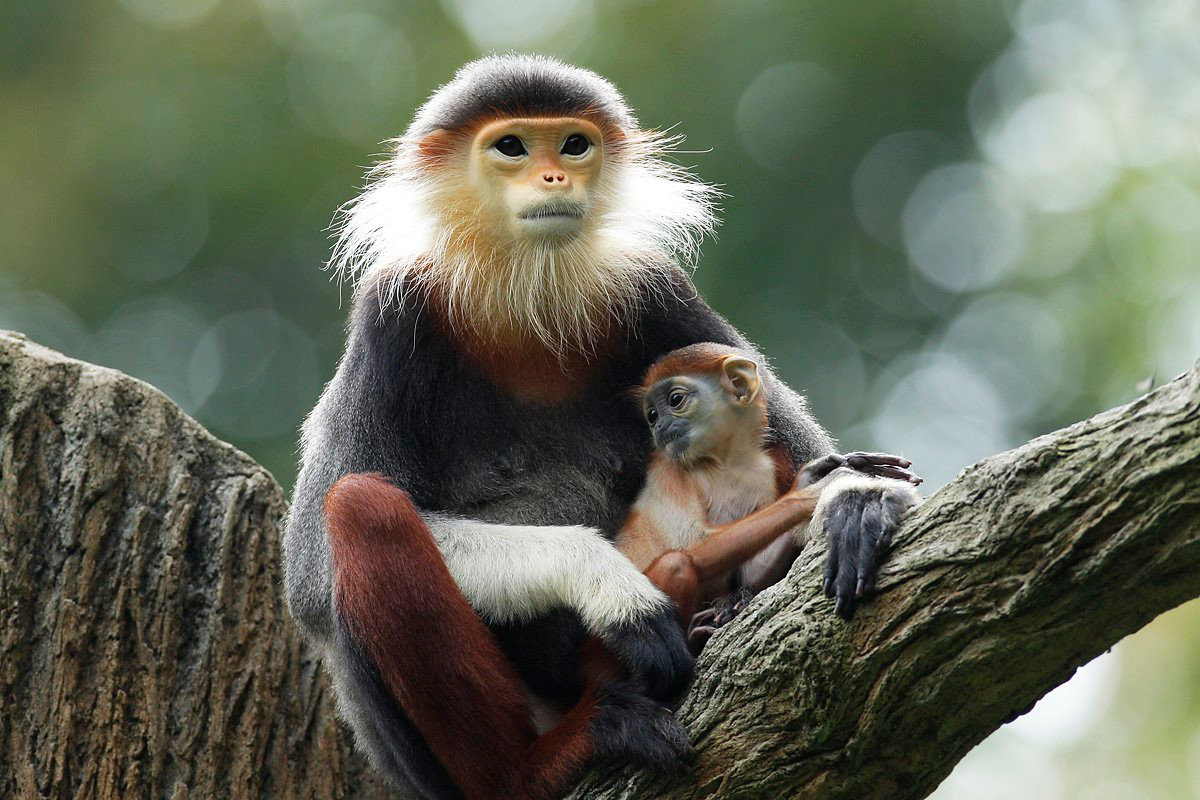 Red shanked douc langur at Singapore Zoo (September 2016)