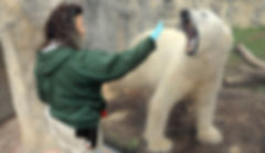 louisville zoo polar bear training.jpg