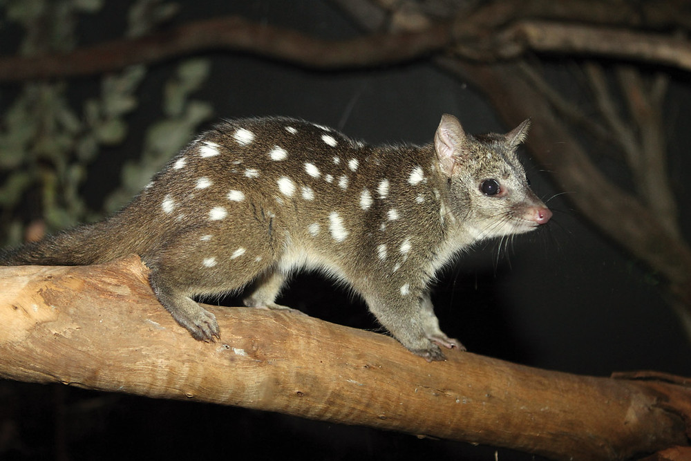 Chuditch, one of the species that has benefited from a captive breeding and reintroduction programme at Perth Zoo. Photo credit: Perth Zoo.