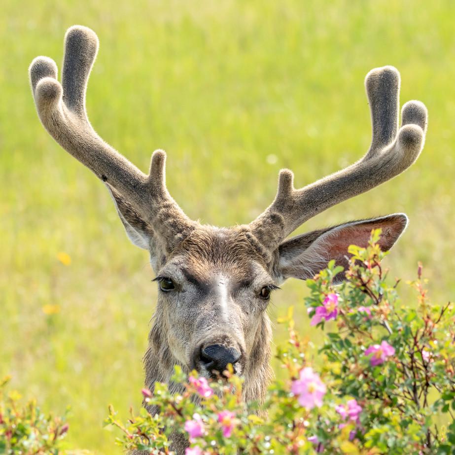 Deer Buck with Roses DSC_0422.jpg