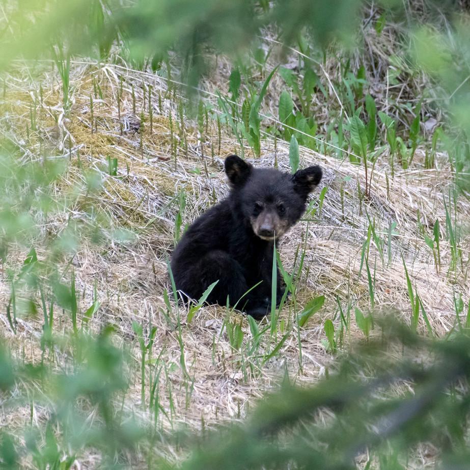 Black Bear cub JAW_6973.jpg