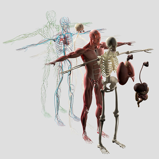 anatomy, body systems,