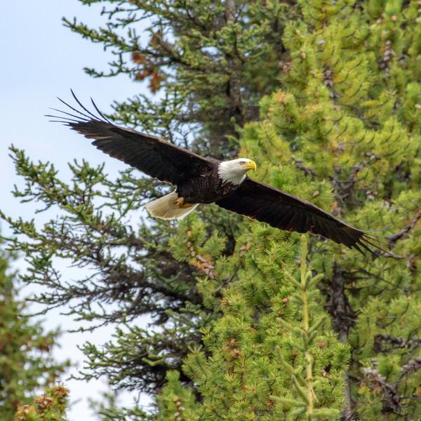 Bald Eagle  WL2_1893.jpg