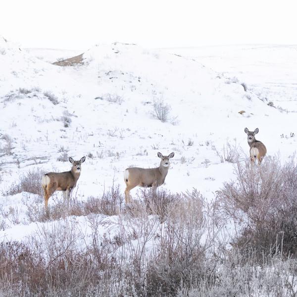 Muke Deer  DSC_9953.jpg