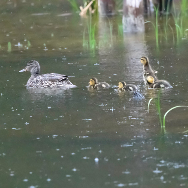 Ducklings DSC_9514.jpg