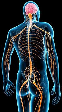 nervouse system, brain