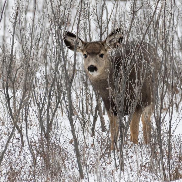 Mukle Deer doe JAW_0663.jpg