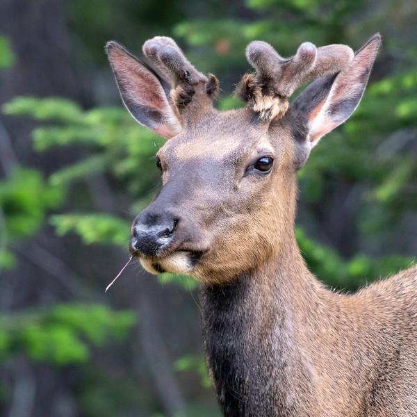 Black tailed Deer JAW_6727.jpg