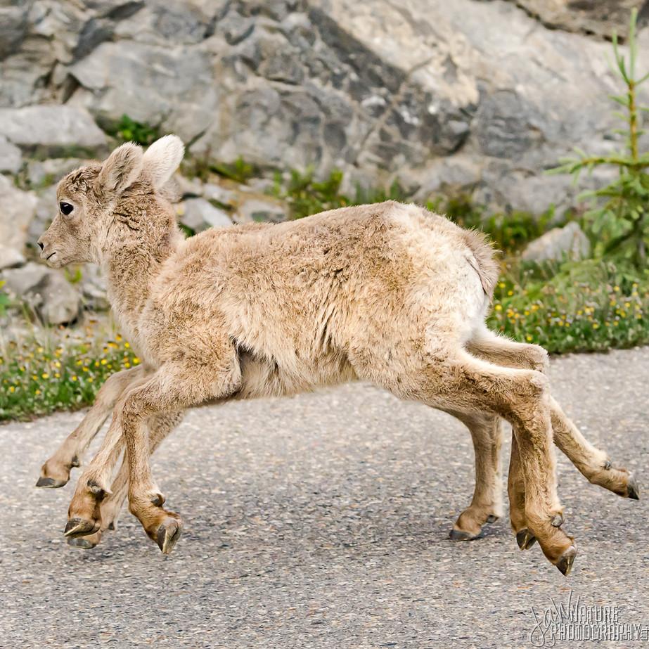 Bighorn Sheep WL2_0931-2.JPG