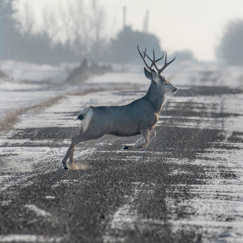 Mule Deer buck JAW_7943.jpg