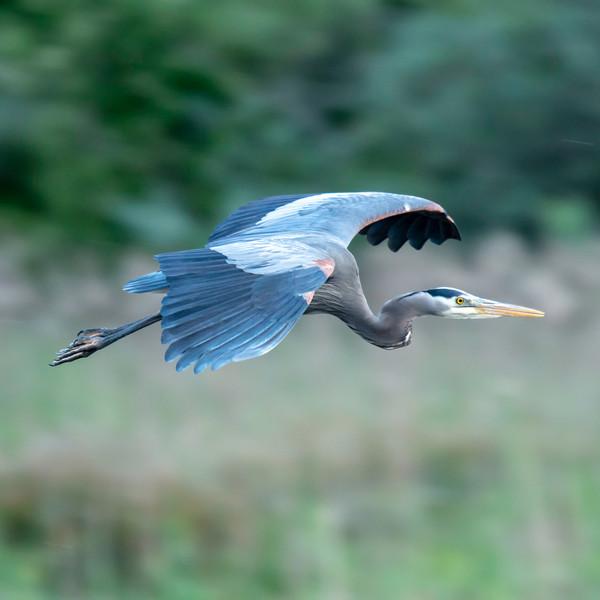 Great Blue Heron WL2_6847.jpg