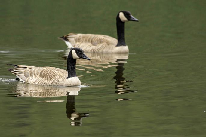 Canada Geese WL2_2191.jpg