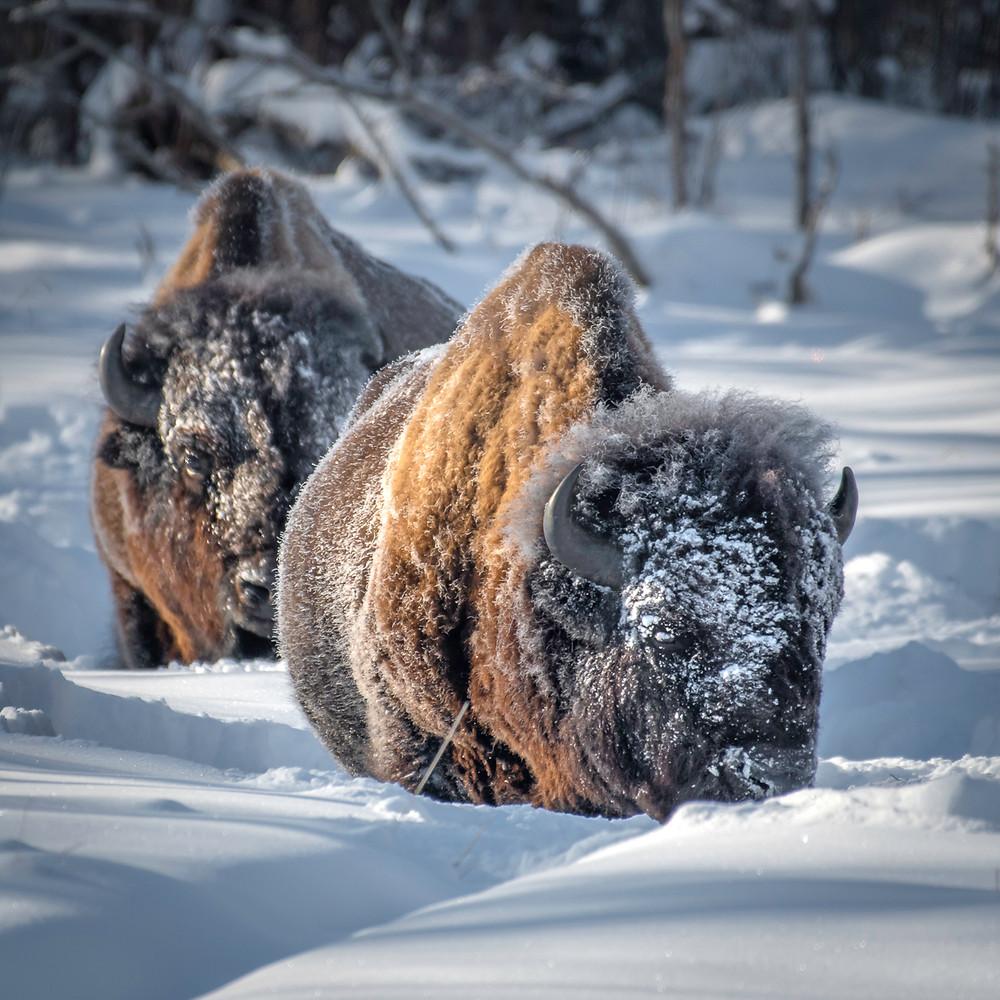 Plain Bison in snow