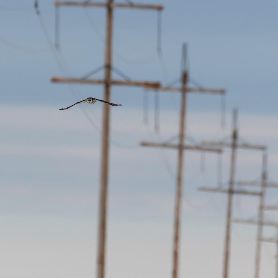 Northern Hawk Owl JAW_0061.jpg