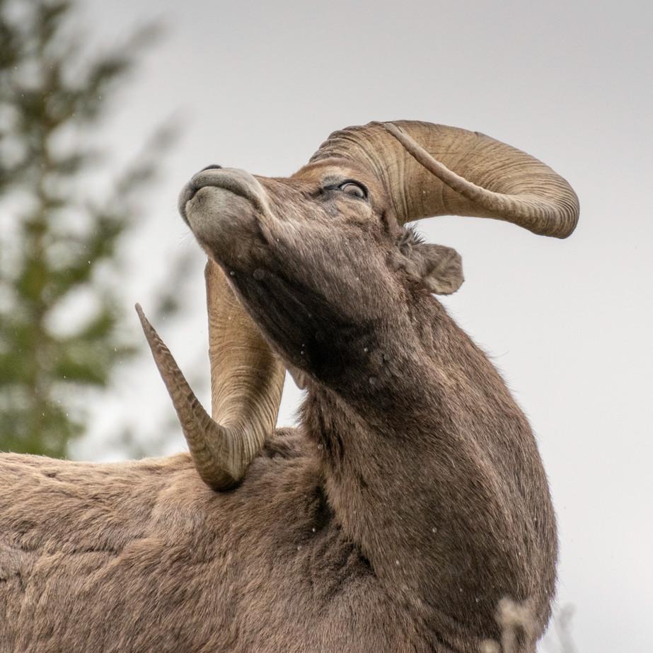 Bighorn Sheep DSC_2713.jpg
