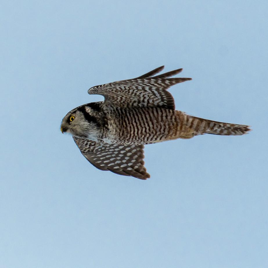 Northern Hawk Owl JAW_0924.jpg
