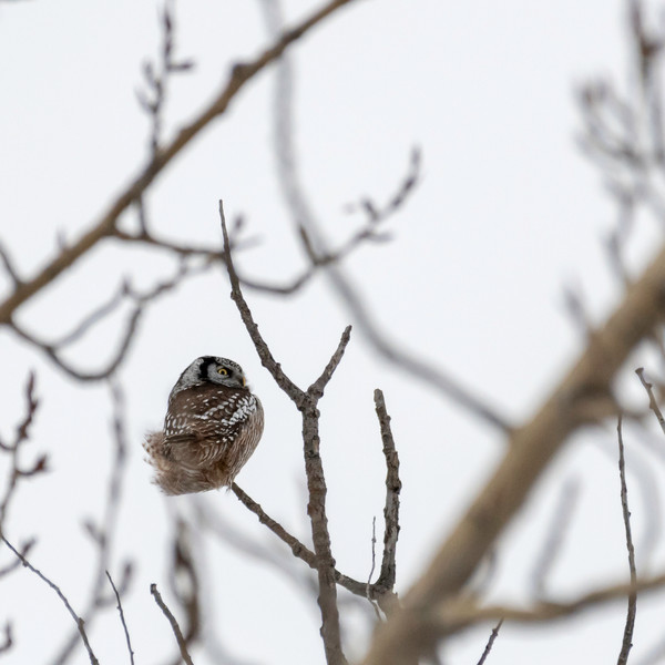 Northern Hawk Owl JAW_9753.jpg
