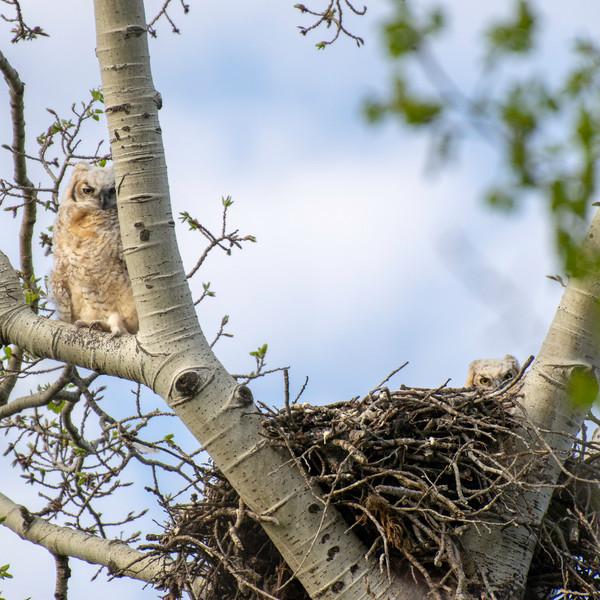 Great Horned Owl fledgelings besides nes