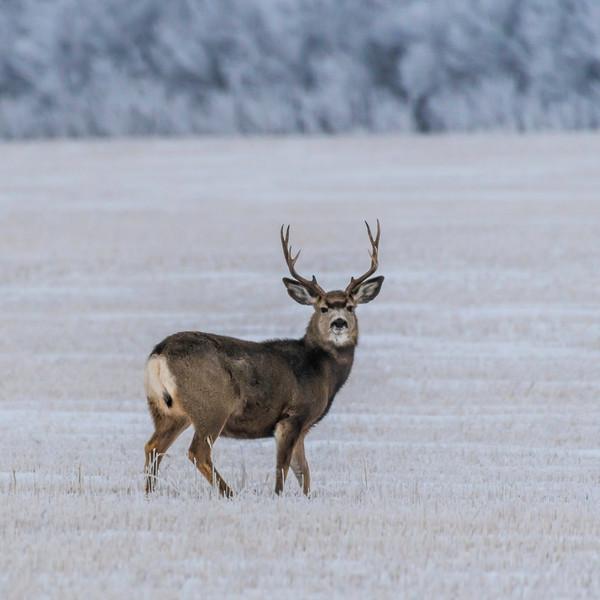 Muke Deer Buck JAW_0056.jpg