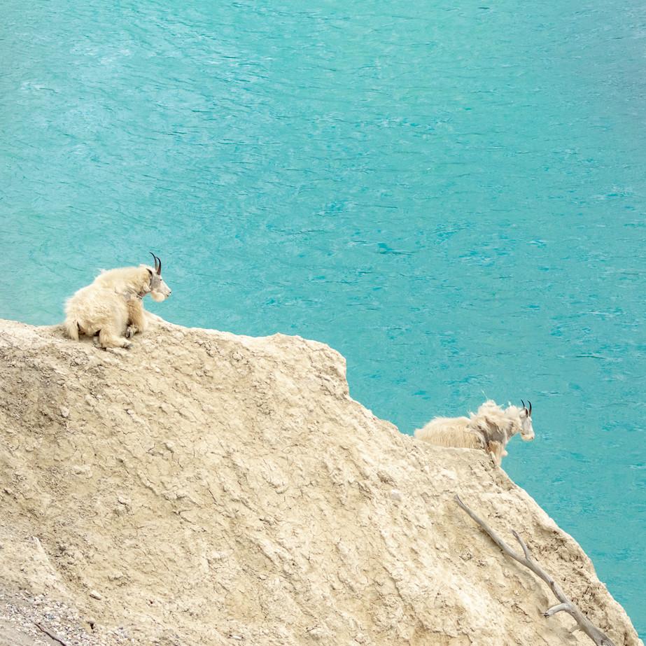 Mountain Goats in Jasper DSC_0172.jpg