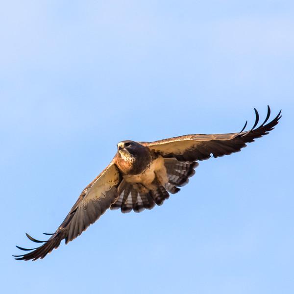 Hawk WL2_5784.jpg