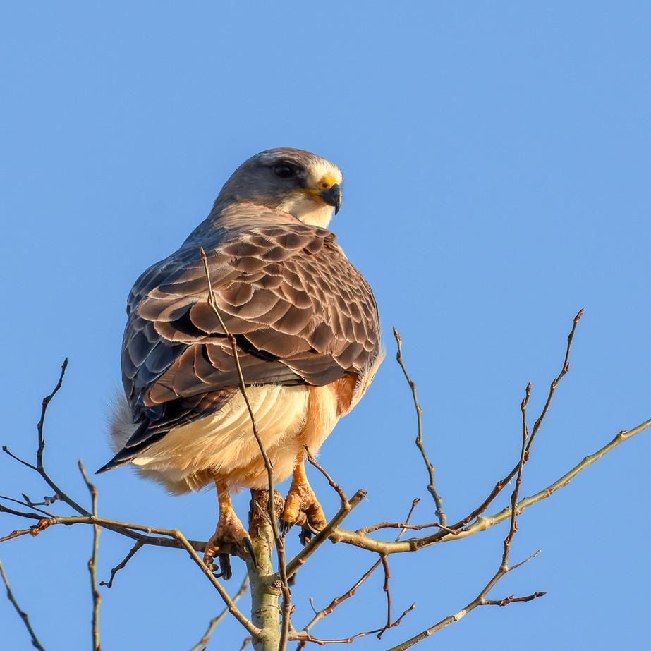 Hawk WL2_5898.jpg