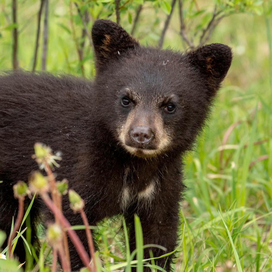 Black Bear Cub WL2_9382.jpg