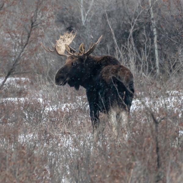 Bull Moose JAW_0915.jpg