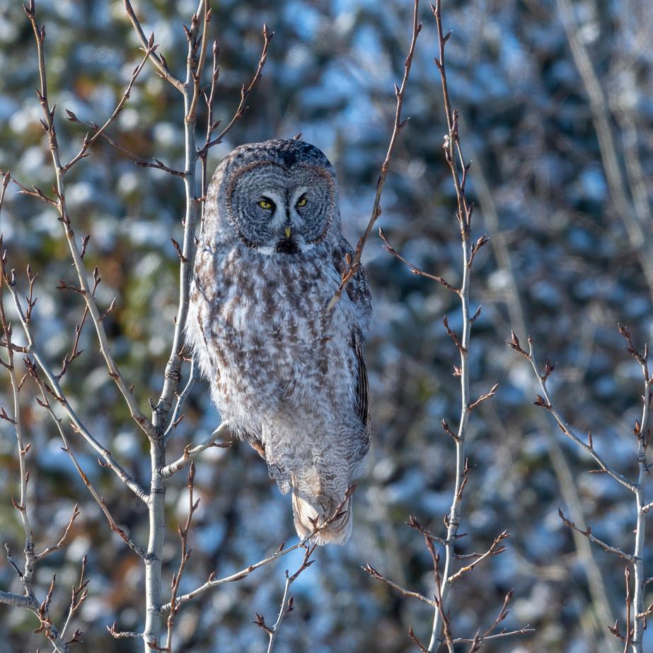 Great Gray Owl JAW_7739.jpg