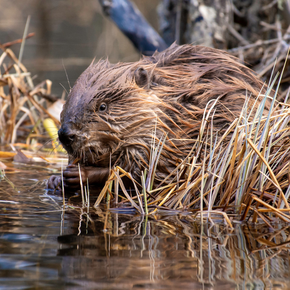 Canadian Beaver WL2_0970-2.jpg