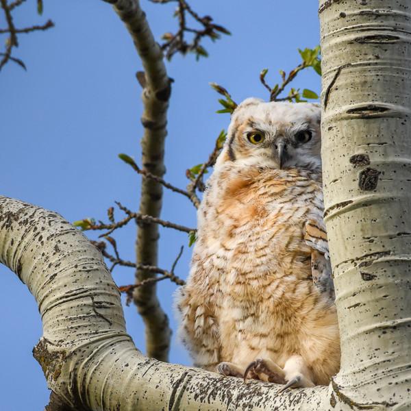Great Horned Owl fledgeling WL2_5599.jpg