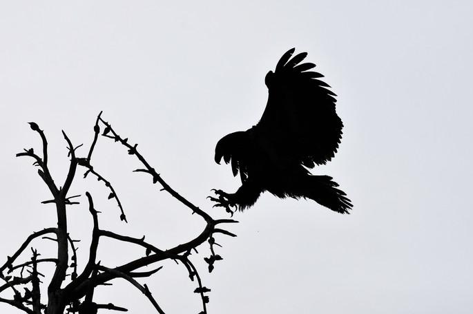 Bald Eagle WL2_1622.jpg
