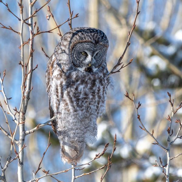 Great Gray Owl JAW_7667.jpg