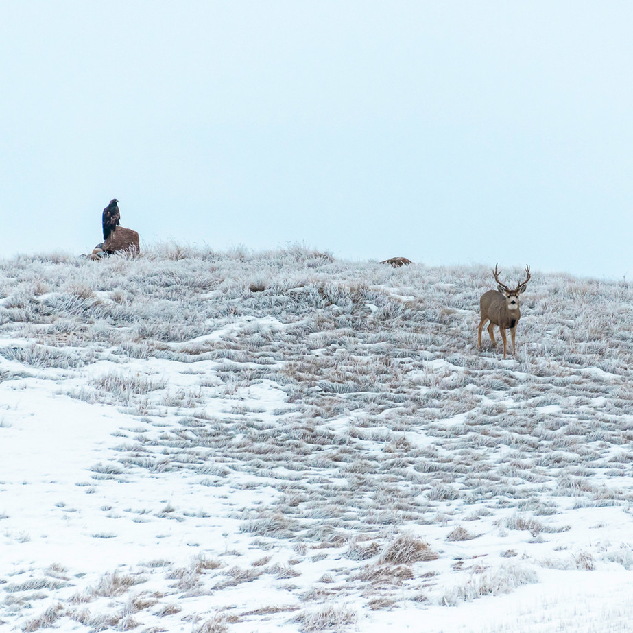 Golden Eagle and Mule Deer buck JAW_0603