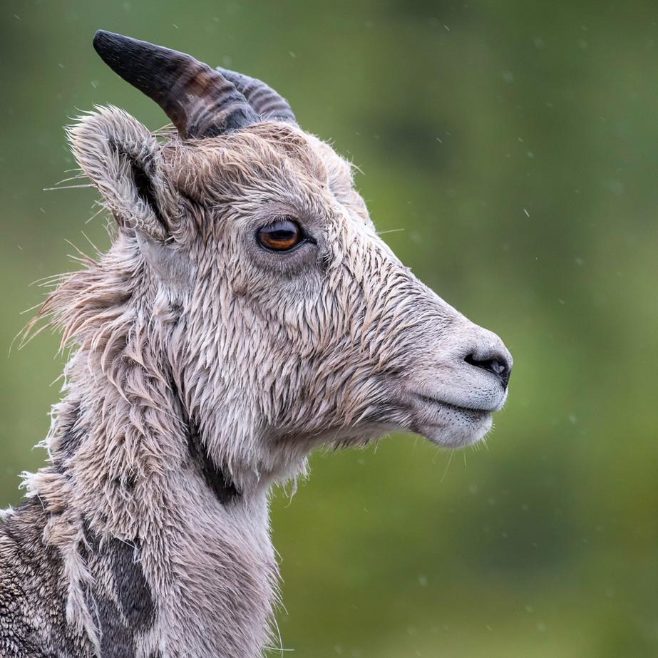 Bighorn Sheep JAW_7566.jpg